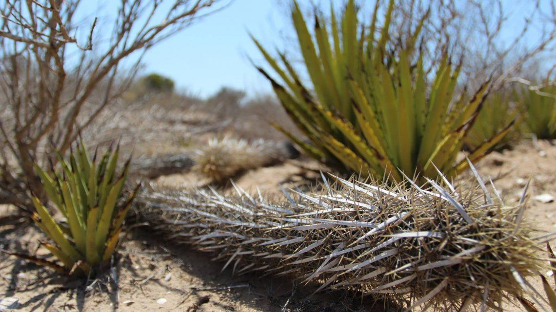 El cactus errante